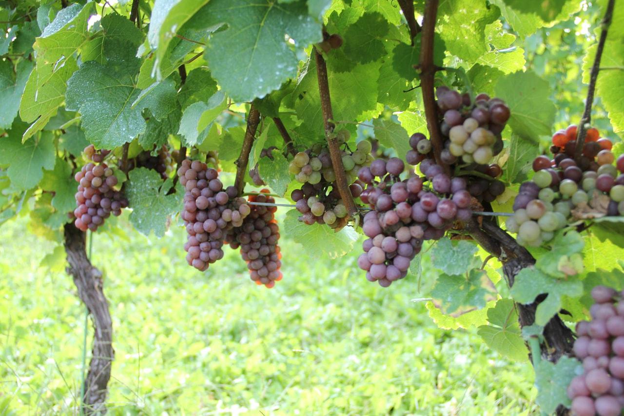 Vol.12 いよいよ栽培の集大成、ブドウの収穫です