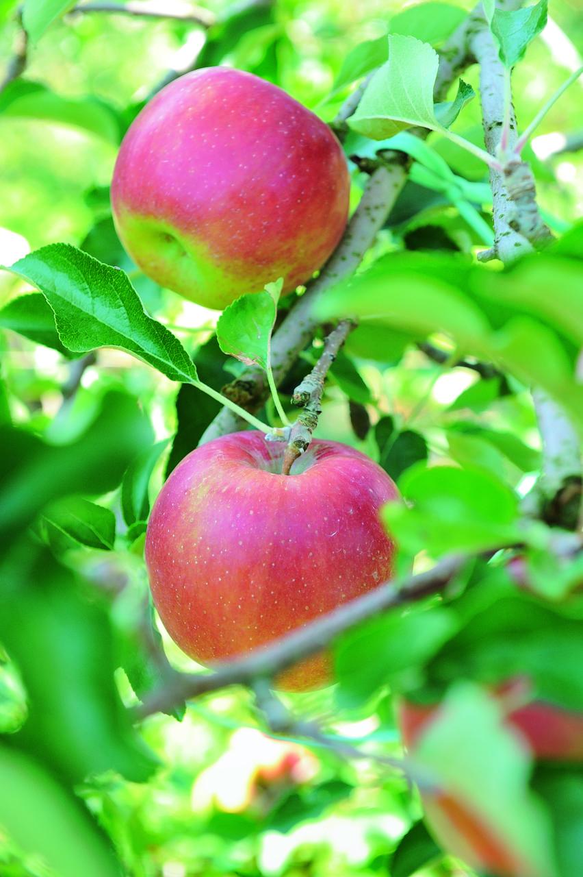 りんご(ドライフルーツ)