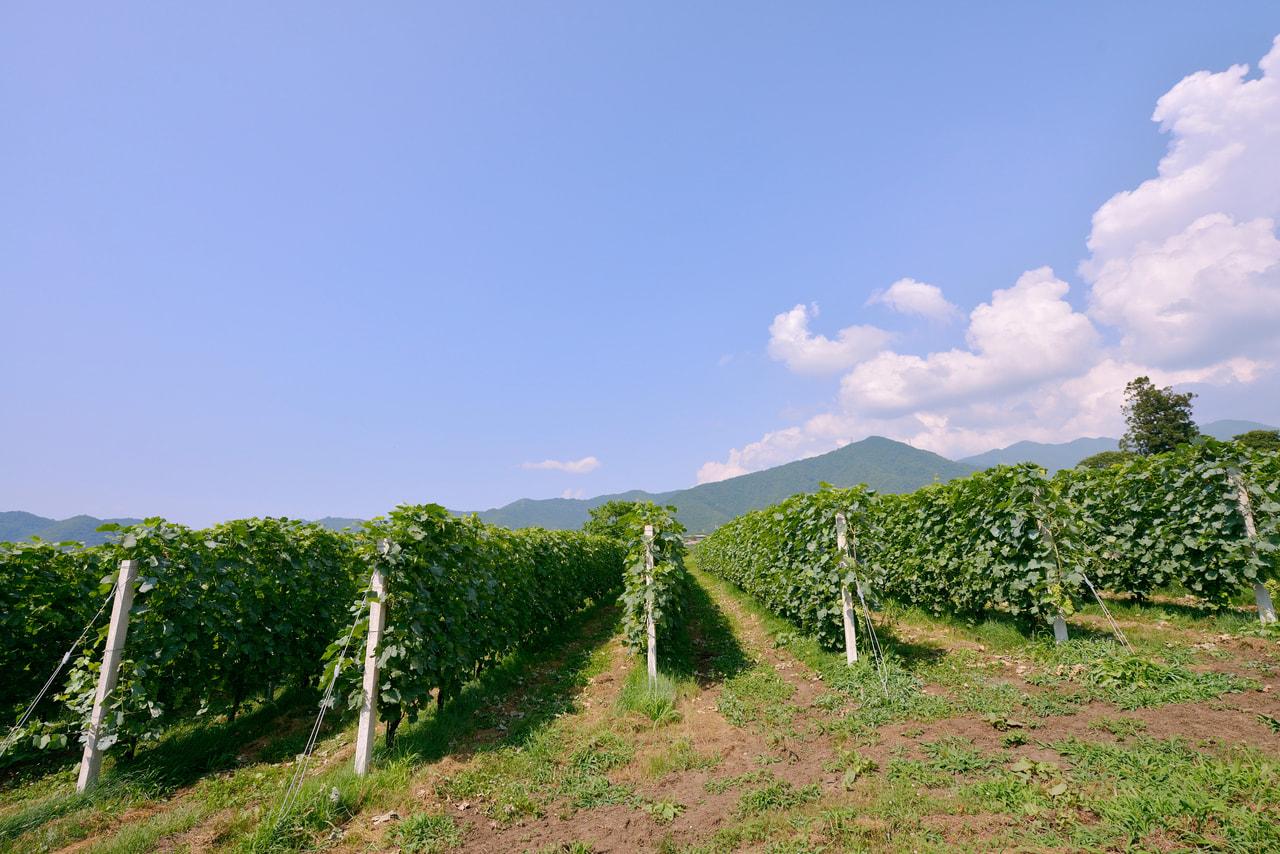 長野県 高山村で ワイン等特産農産品振興を担う 上級職 職員募集案内