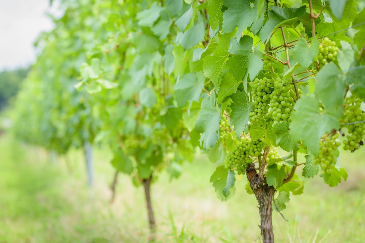 ワイン用ぶどう生産就農体験講座の受講生募集中